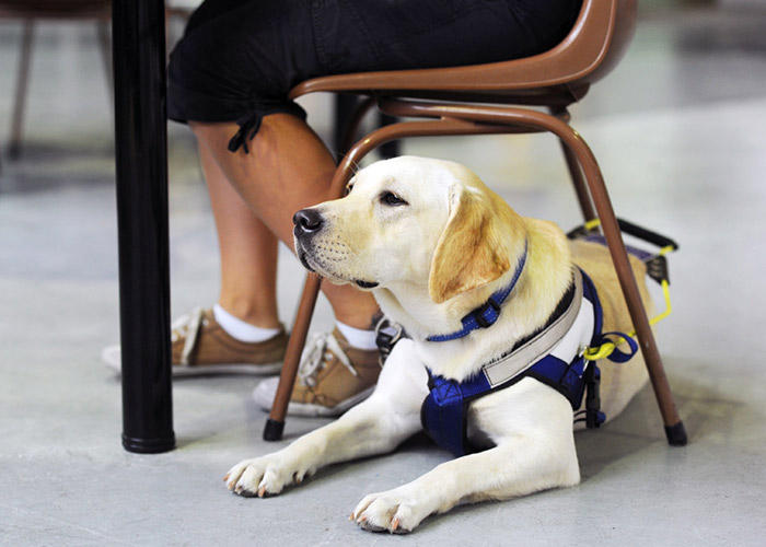 Golden Labrador Seeing Eye Dog in harness sits underneath chair