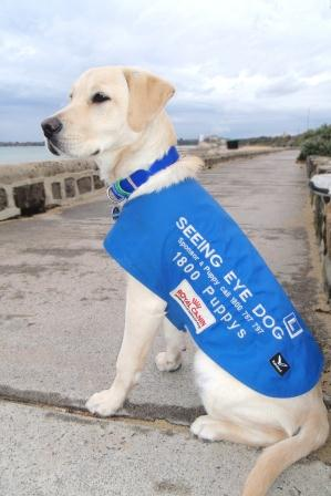 Image of Seeing Eye Dog in training, with puppy in training coat, sitting on footpath