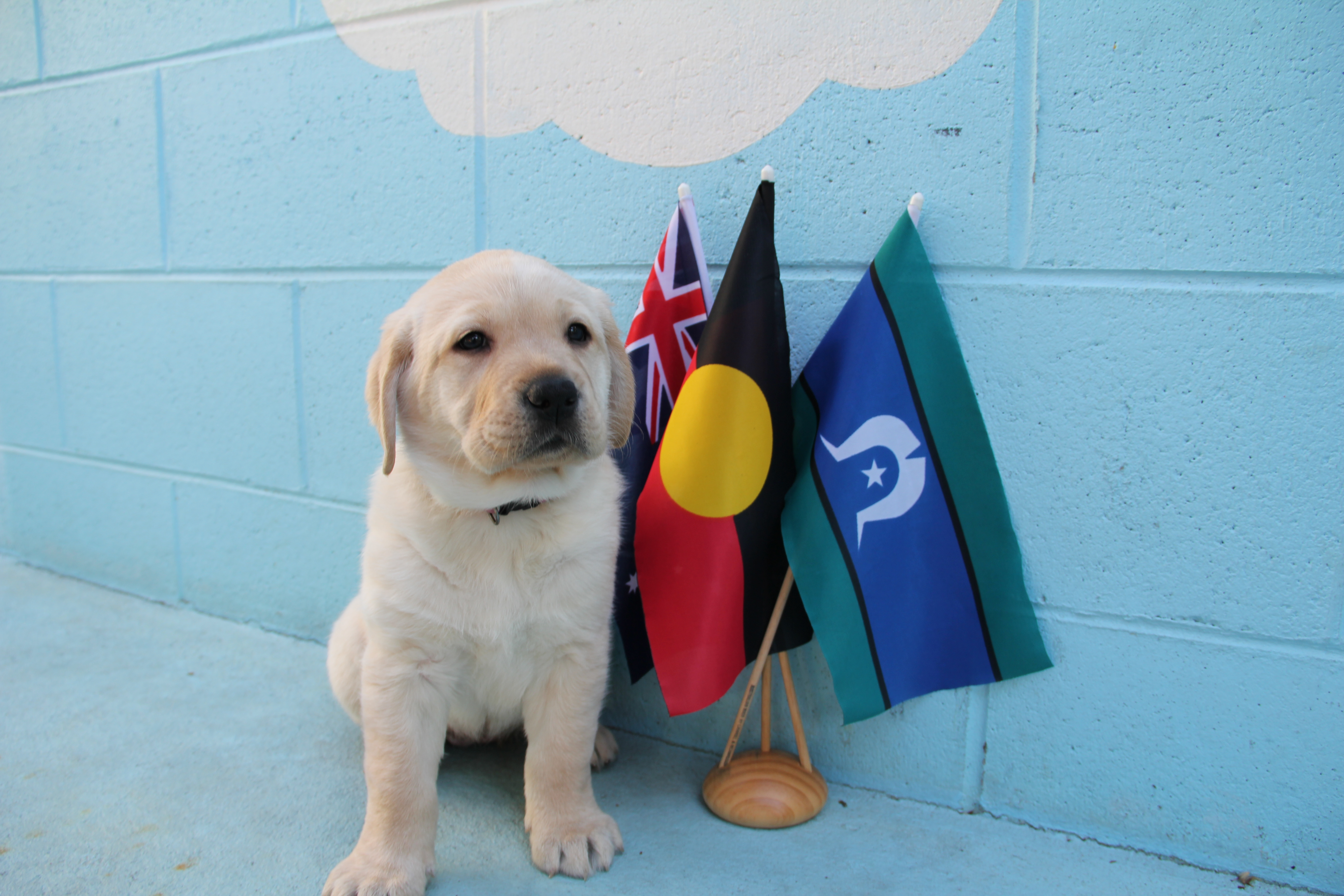 Nara, a golden Labrador puppy named by Alan for NAIDOC Week, sits next to miniature Australian, Aboriginal and Torres Strait Islander flags.